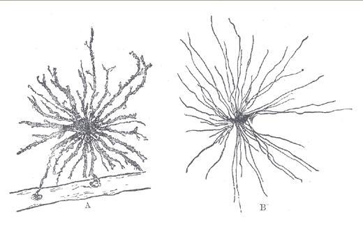 Otak Para Jenius Dalam Stoples, Sel Glial Pada Otak