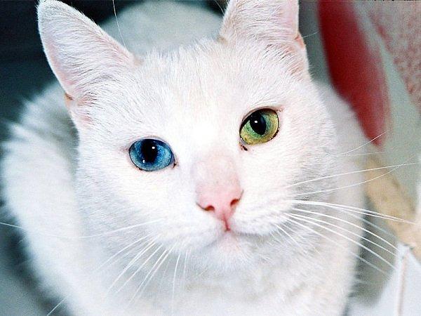 Heterokromia Pada Kucing Yang Berlainan Warna Pada Mata Kiri dan Kanan