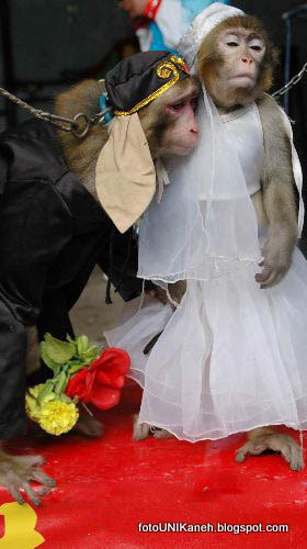 Pernikahan Dini Sepasang Monyet