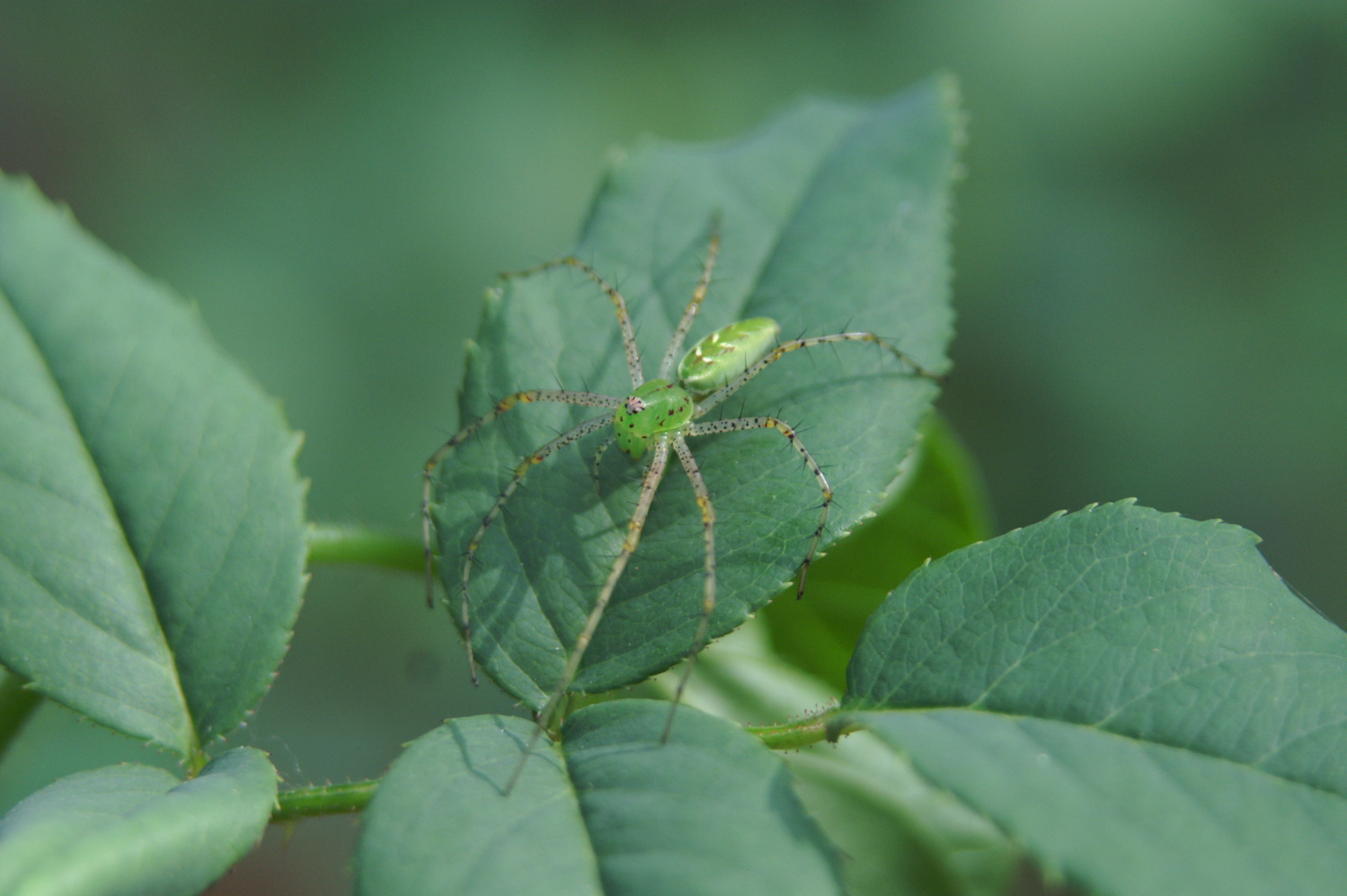 Green lynx spiders peucetia viridans are common in this area