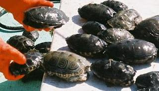 New terrapin arrivals at Guantanamo Bay