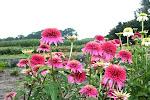 Echinacea Pink Sorbet