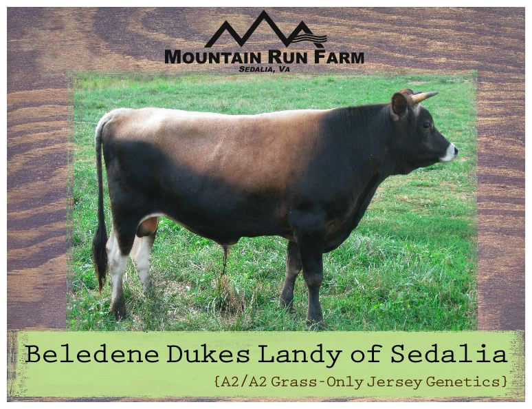 A2/A2 Grass-Only Jersey Genetics, Son of Family Milk Cow: Beledene Dukes Landy of Sedalia