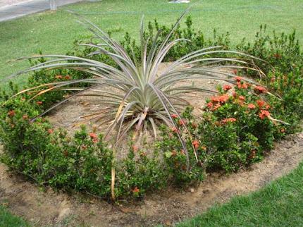 Planta croatá, que deu origem ao nome do município