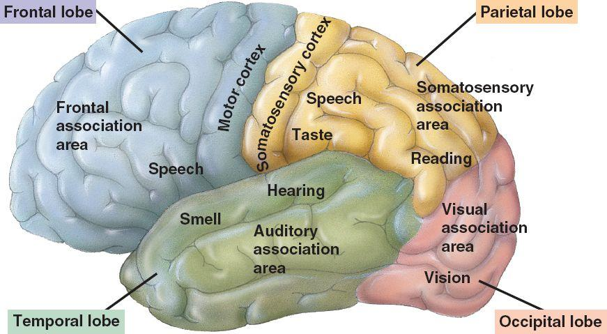 sensory input as one of the main functions of the brain Tor is converted into nerve impulses and this sensory input is the ascending sensory pathways are the main avenues by its internal condition, and the position and movement of its parts, reach the brain one similarity shared by all three ascending sensory pathways from the body (not.