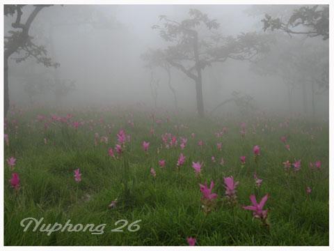 ดอกกระเจียวแห่งสายหมอก ในยามเช้า