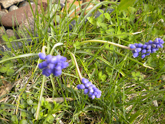 Grape hyacinths are blooming