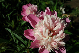 Favorite peony in my garden two shades of pink