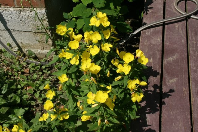 1 Yellow Flower That Close At Night 2 Pinkish I Also Have In 3 Large Tall Things Think Are Hollyhocks The Flowers