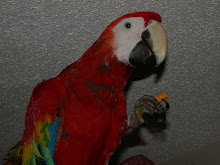 My Scarlet Macaw