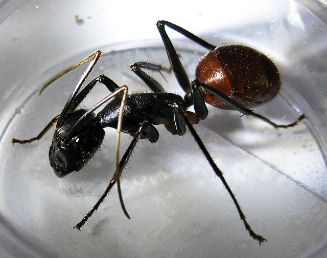 Carpenter Ants Size Comparison