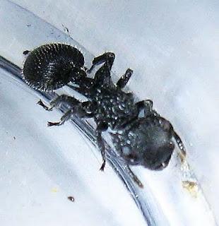 Cataulacus ant worker