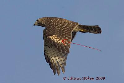 STOKES BIRDING BLOG: Learn to ID Juvenile Hawks in Flight