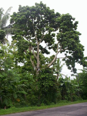 Pili Nuts Tree Images