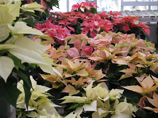 Visser's Poinsettias