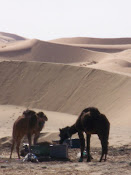 Camels from New Years Trek in Merzouga