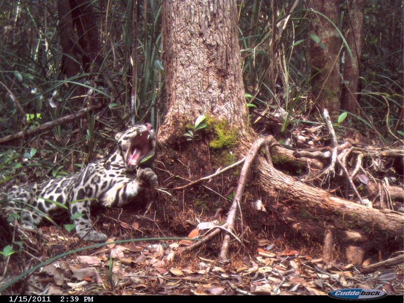 PANTHERE NEBULEUSE DE BORNEO - Neofelis diardi Km5+Clouded+leopard+15-01-2011+%25282%2529
