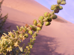 Verde en las dunas