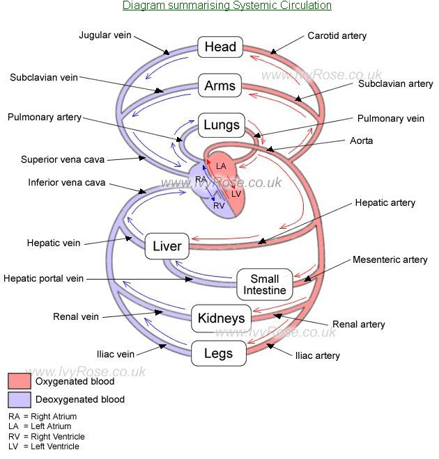 arteries and veins diagram. Arteries And Veins Diagram.