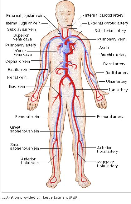 These are the major arteries in the body. and these are the major veins.