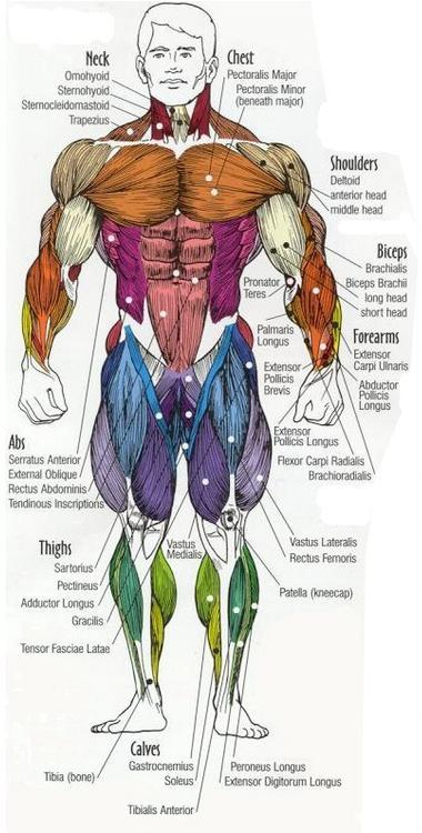 Major muscle groups anatomy