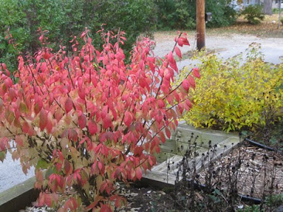 Burning Bush & Spirea