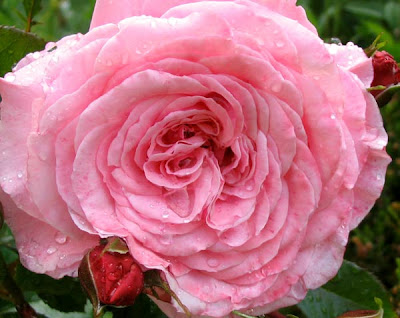 55. Gönülçelen -Inima furata - Heart Stealer - General Discussions - Comentarii - Pagina 4 Trandafir