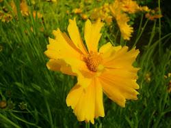 Coréopsis Grandiflora Sunburst