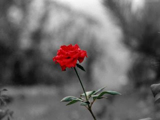 red rose rosa vermelha flower flor jardim amor tempo