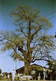 El árbol de la vida ( Tuita) ( La India)