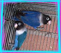 Personata Blu Viola DF x Cobalto Viola SF