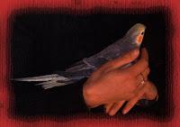 Calopsitte Perlata maschio allevato a mano