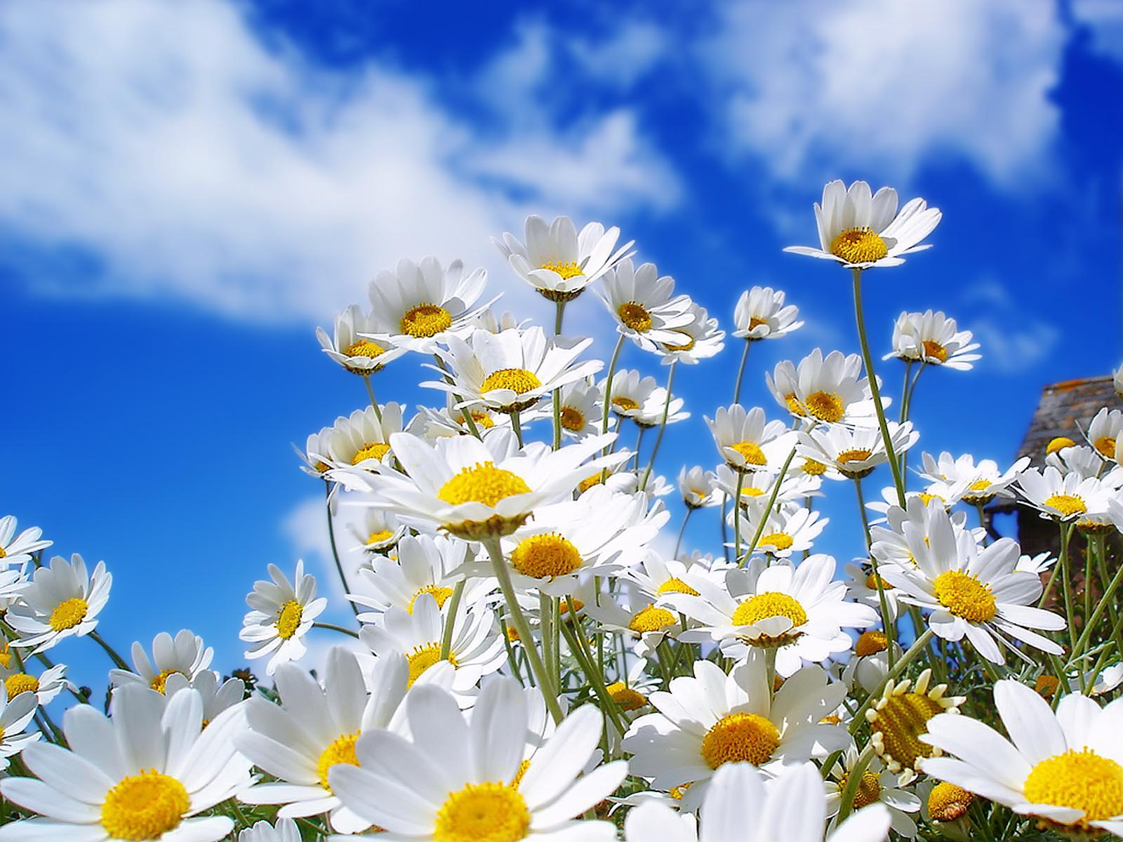 http://2.bp.blogspot.com/_Olu9nsIRMVY/TUlh451B1oI/AAAAAAAAADQ/zKDrvsDCO3c/s1600/wp_Spring_Daisy_1600x1200.jpg