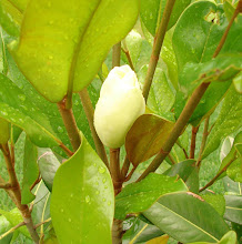 The First Magnolia Bud
