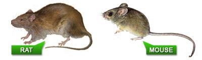how to know if its rats or mice