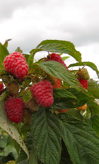 raspberries at Greig Farm in Red Hook, New York