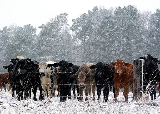 No, there are NO cows at GVS Park, this is from Barbara in E. TX!