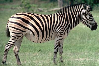 Cebra o zebra de perfil