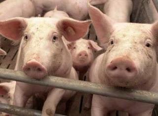 Cerdos rosados