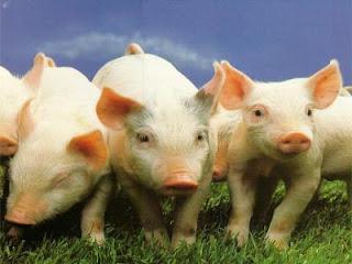 Cerdos pequeños (lechones)