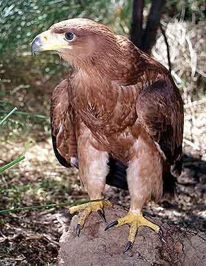 Foto de Aguila sobre una roca