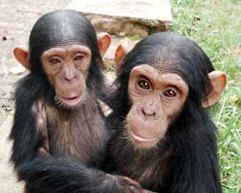 Chimpancés pequeños