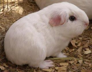 Cuy blanco pequeño