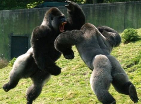 Gorilas machos peleándose