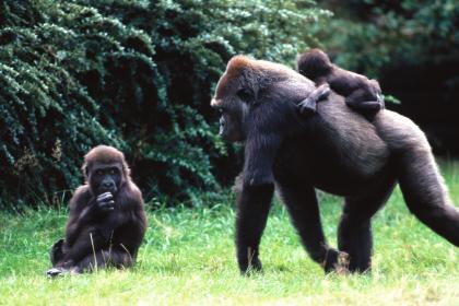 Mamá gorila paseando a su cría en su espalda