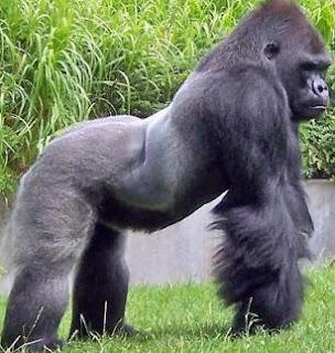 Gorila de perfil