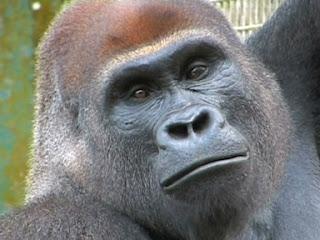 Cara del gorila