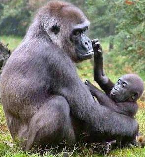 Gorila jugando con cría