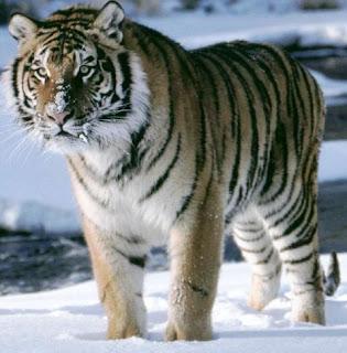 Tigre parado en el hielo