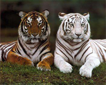 Tigres descansando de diferentes colores